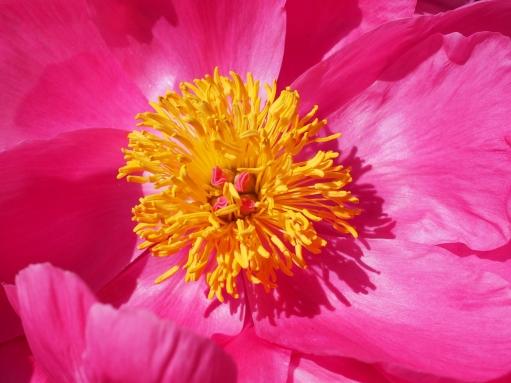 peony-blossom-bloom-stamen-45864